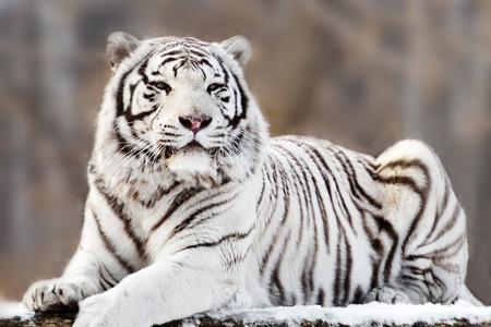 Tigre bianca for Disegni delle tigri